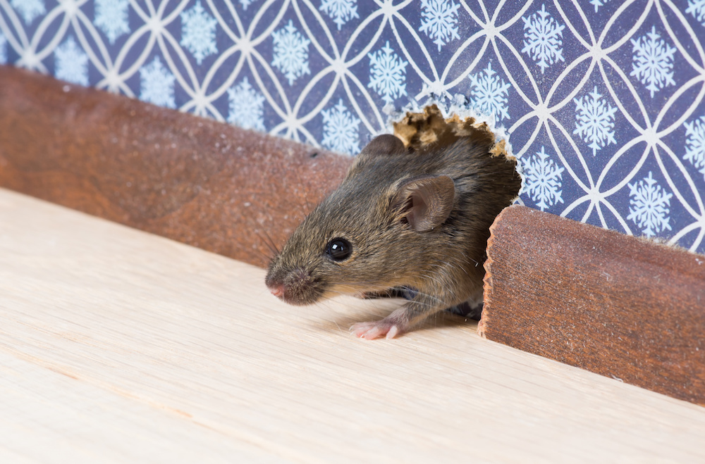 Mice or Rats in the Home